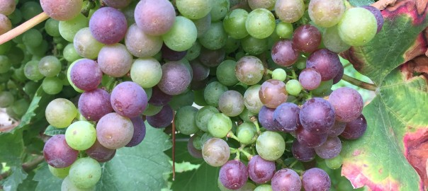 Blaufrankisch at the start of veraison